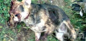Мужчина прокомментировал убийство чупакабры
